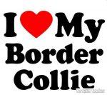 Border collie matrica 10